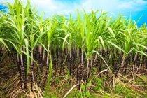 7302491-sugar-cane-plantation-khanh-hoa-province-vietnam